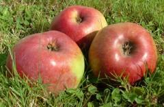 pommes 4.jpg