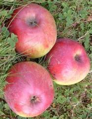 pommes 3.jpg